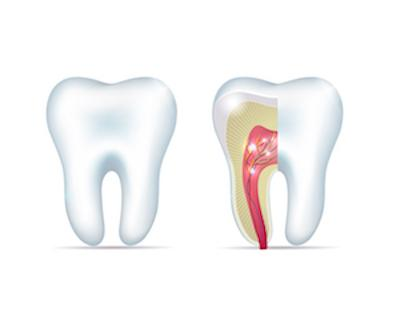 Diagram of tooth with root | Dentist Calgary AB